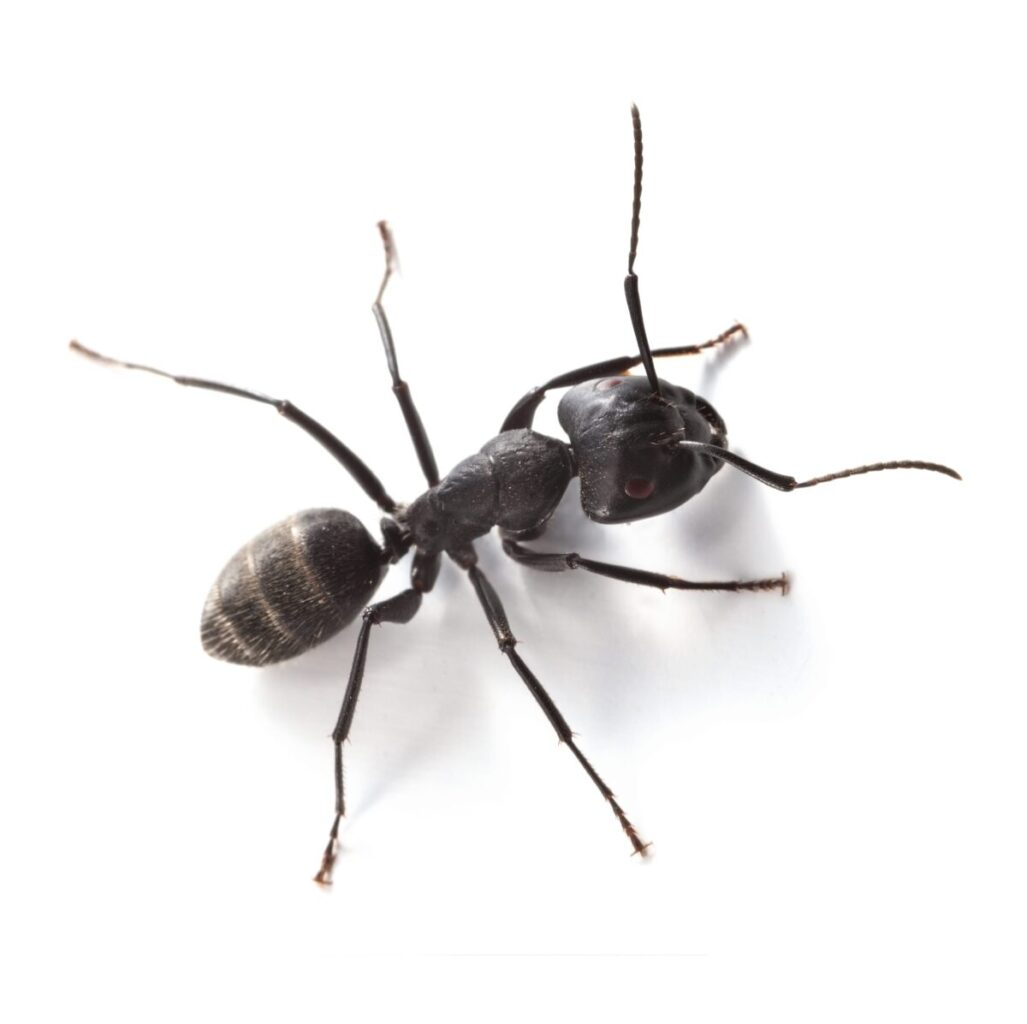 Pavement ants (Workers)