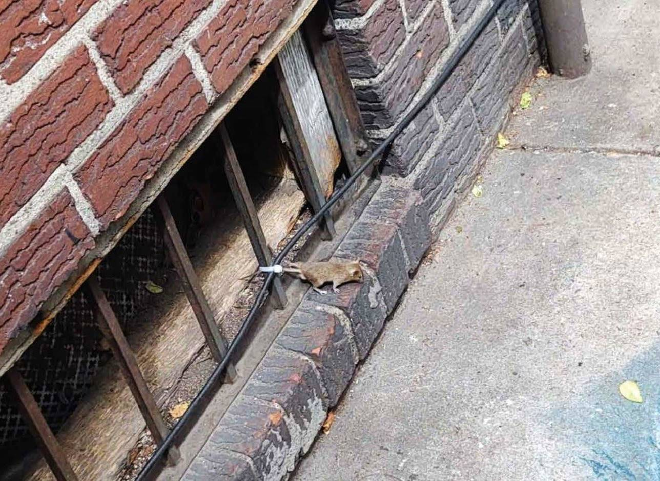 Rat climbing out of nyc building grates