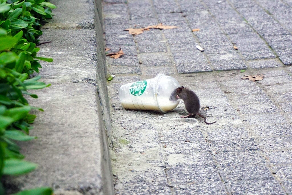New York City rat drinking out of Starbucks cup on the street